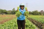 FOTO Petani Tangerang Panen Sayur Sawi