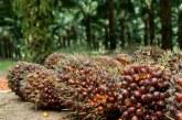 Langkah Ini Bisa Tingkatkan Produktivitas Kelapa Sawit