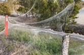 Jutaan Laba-laba Tebarkan Jaring Seluas 1 Km