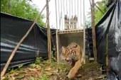 """Rayakan Global Tiger Day 2021, KLHK Lepasliarkan Harimau Sumatera """"Sipogu"""""""