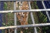 BKSDA Jambi Evakuasi Harimau Sumatera Korban Konflik di Jambi
